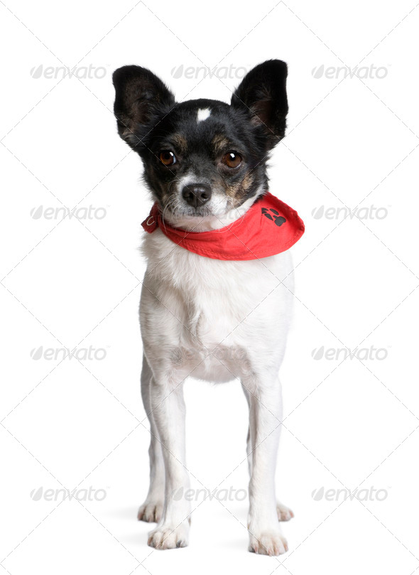 Bastard dog in red handkerchief standing in front of white background, studio shot - Stock Photo - Images