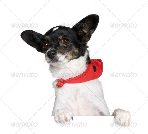 Bastard dog in red handkerchief sitting in front of white background, studio shot - Stock Photo - Images