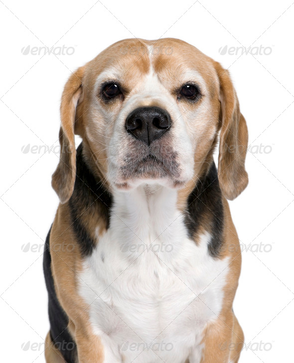 Beagle, 9 years old, sitting in front of white background, studio shot - Stock Photo - Images
