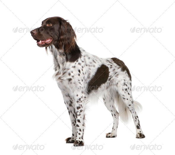 Small Munsterlander dog, 2 years old, standing in front of white background, studio shot - Stock Photo - Images