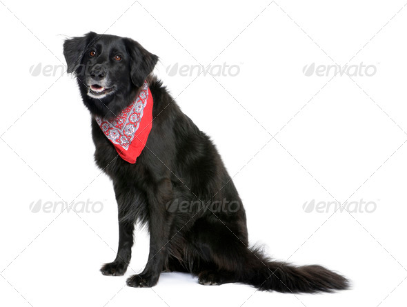 Bastard dog in red handkerchief, 7 years old, sitting in front of white background - Stock Photo - Images