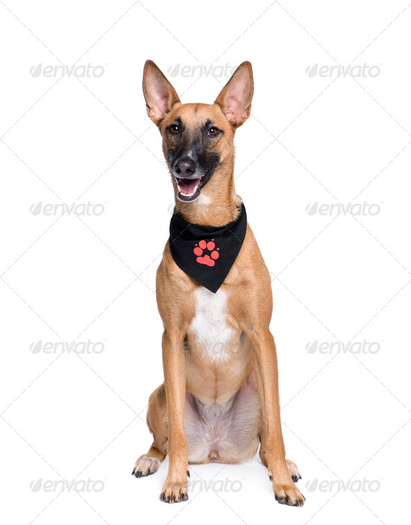 Bastard dog in handkerchief, 1 year old, sitting in front of white background - Stock Photo - Images