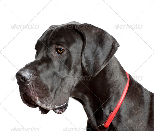 Great Dane, 11 months old, in front of white background, studio shot - Stock Photo - Images