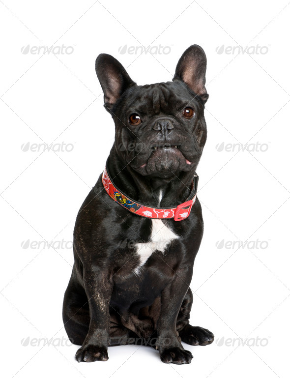 French bulldog, 5 years old, sitting in front of white background, studio shot - Stock Photo - Images
