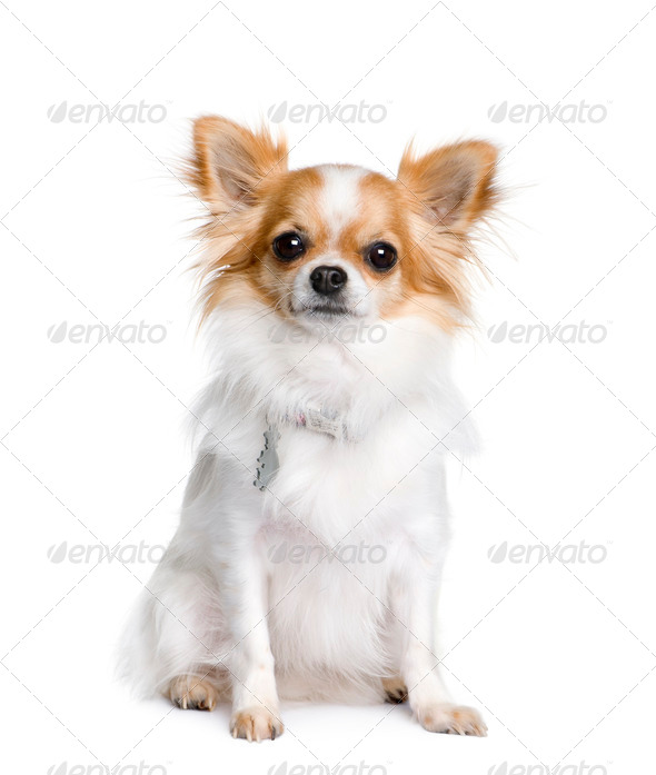 Chihuahua, 2 years old, sitting in front of white background, studio shot - Stock Photo - Images