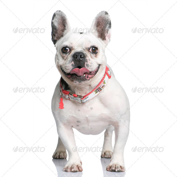 French Bulldog, 3 years old, standing in front of white background, studio shot - Stock Photo - Images