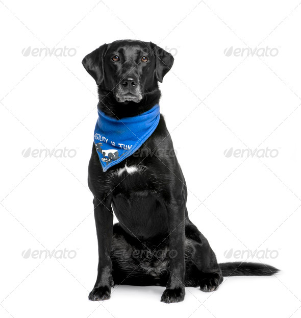 Bastard dog in handkerchief, 5 years old, sitting in front of white background - Stock Photo - Images