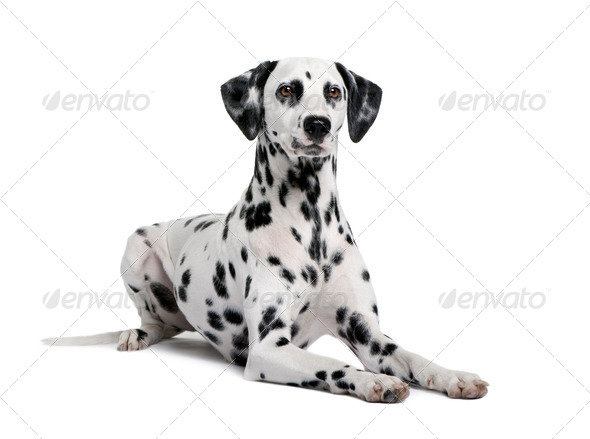 Dalmatian, 15 months old, sitting in front of white background, studio shot - Stock Photo - Images
