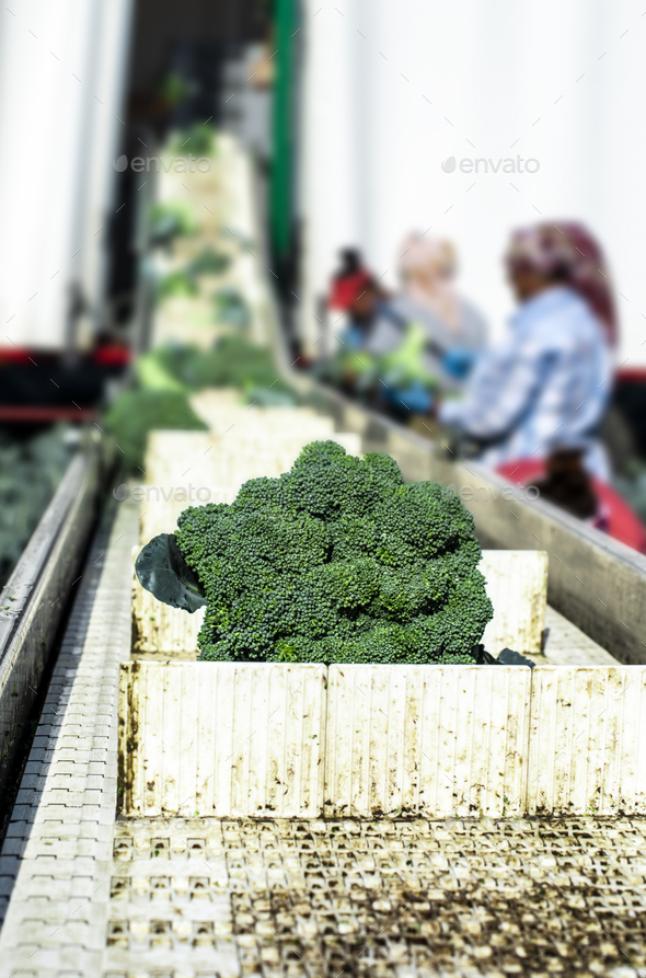 Harvest broccoli in farm with tractor and conveyor. Workers pick - Stock Photo - Images