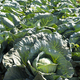 Cabbage farm. Sunlights on Cabbage in garden. - PhotoDune Item for Sale