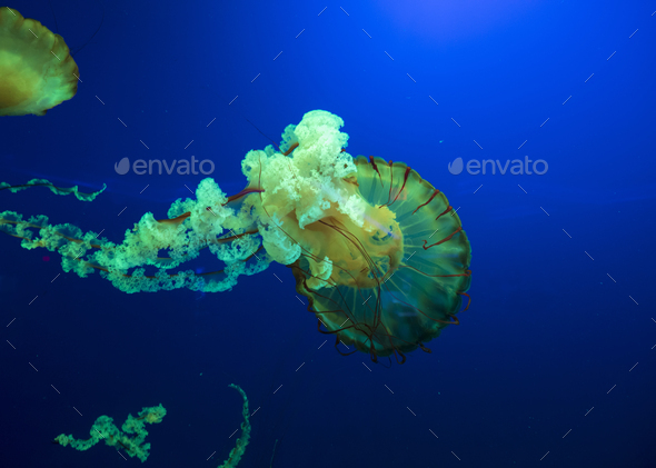 Colorful glowing pacific sea nettle, chrysaora fuscesens in deep blue water. - Stock Photo - Images