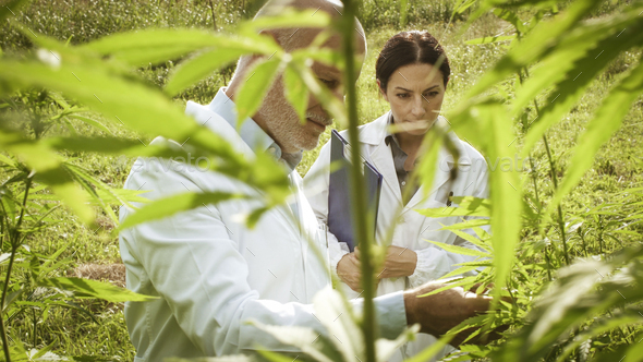 Researchers checking hemp plants in the field - Stock Photo - Images