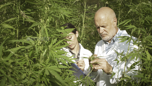 Expert researchers checking hemp plants in a field - Stock Photo - Images