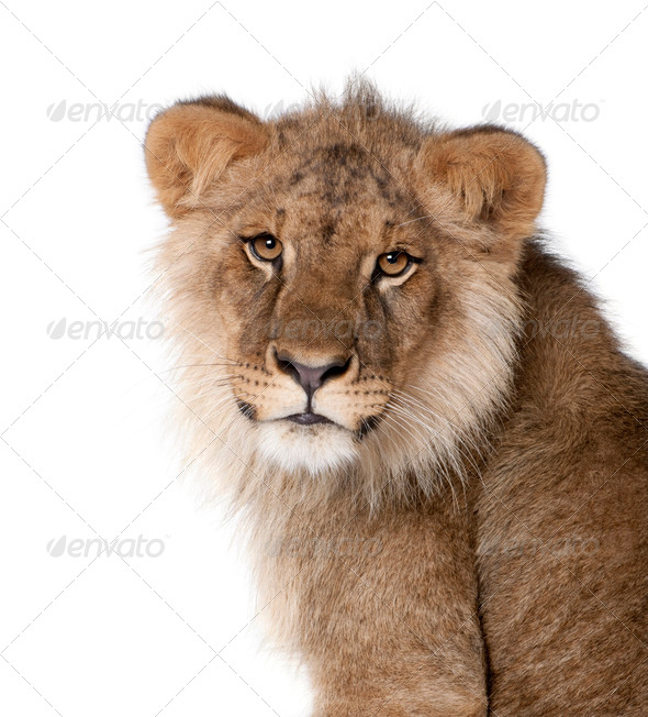 Lion, Panthera leo, 9 months old, in front of a white background, studio shot - Stock Photo - Images