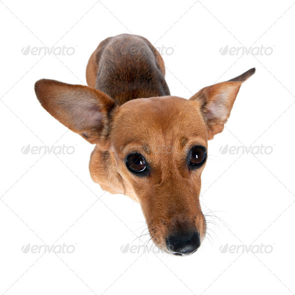 High angle view of bastard dog standing in front of white background, studio shot - Stock Photo - Images