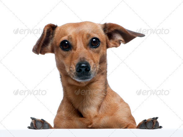 Portrait of bastard dog in front of white background, studio shot - Stock Photo - Images