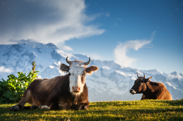 Cows resting on alpine hills in sun beams - Stock Photo - Images
