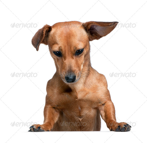 Dashund in front of a white background, studio shot - Stock Photo - Images