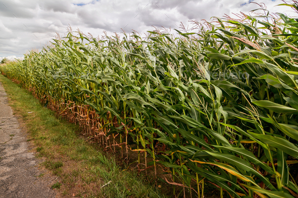 Green corn field on a stormy summer day - Stock Photo - Images