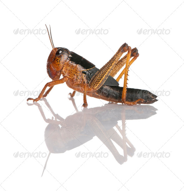 Side view of grasshopper from Asia in front of white background, studio shot - Stock Photo - Images