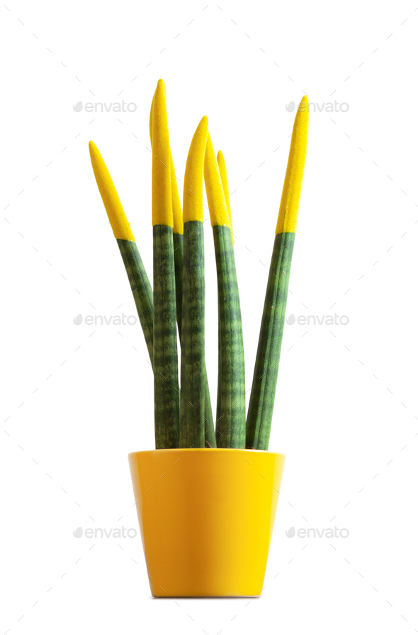 Sansevieria, velvet touchz with yellow color. - Stock Photo - Images