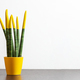 Sansevieria, velvet touchz with yellow color. - PhotoDune Item for Sale