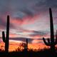 Saguaro Cacti Sonoran Desert Sunset Saguaro NP AZ - PhotoDune Item for Sale