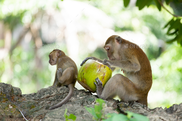 Macaque monkeys in the forest. - Stock Photo - Images