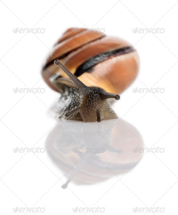 Garden snail in front of a white background, studio shot - Stock Photo - Images