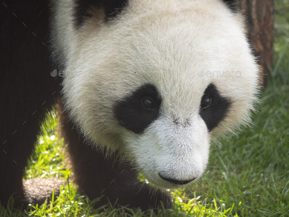 Panda Goes On A Background Of Green Grass. - Stock Photo - Images