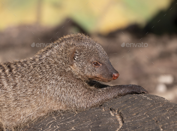 Banded Mongoose Mungos Mungo Resting In The Sun. - Stock Photo - Images