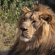 Portrait Lion Basking In The Warm Sun After Dinner. - PhotoDune Item for Sale