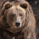 Brown Bear Ursus Arctos Portrait On The Hunt. - PhotoDune Item for Sale