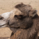 Portrait Of A Graceful Two-humped Camel Resting In The Shade - PhotoDune Item for Sale
