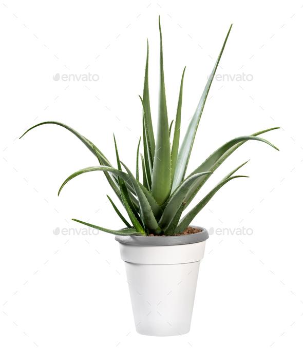 Potted Aloe vera plant isolated on white - Stock Photo - Images
