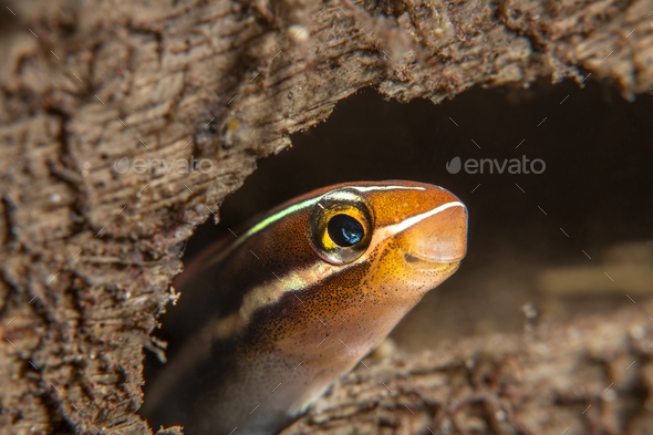 Blue striped Fangblenny - Stock Photo - Images
