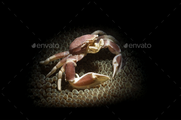 Porcelain crab in anemone - Stock Photo - Images