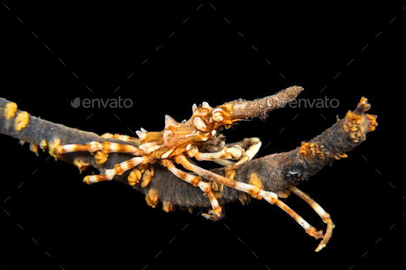 Xeno crab on whip coral - Stock Photo - Images