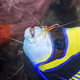 Emperor angelfish being cleaned by shrimp - PhotoDune Item for Sale