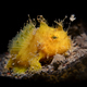 Small yellow frogfish lit with snoot - PhotoDune Item for Sale