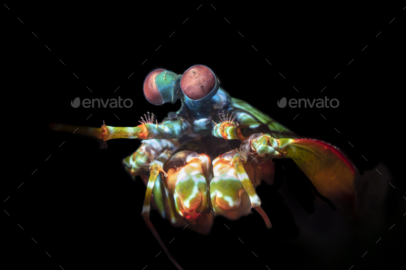 Colorful Mantis Shrimp with Complex Eyes - Stock Photo - Images
