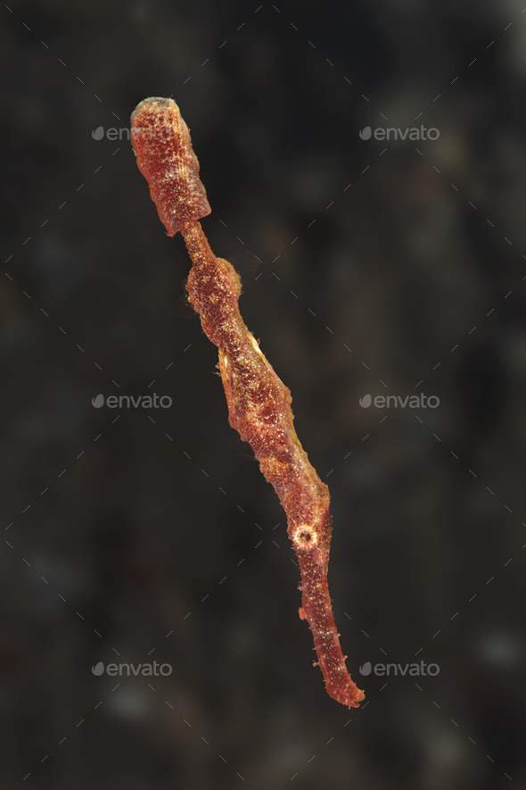 Thin Ghost Pipefish - Stock Photo - Images