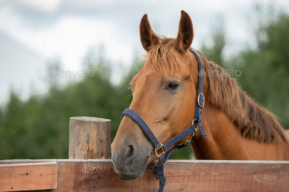 Muzzle of calm purebred brown racehorse by fence in rural environment - Stock Photo - Images