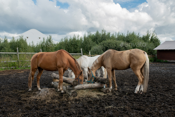 Three young purebred mares standing by wooden trough and eating at rancho - Stock Photo - Images