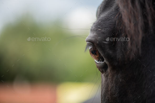 Right brown eye with eyelashes of young black purebred racehorse - Stock Photo - Images