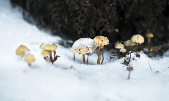 Frozen Mushrooms in the Snow in New Zealand - Stock Photo - Images