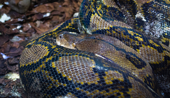 Reticulated Python Curled Up - Stock Photo - Images