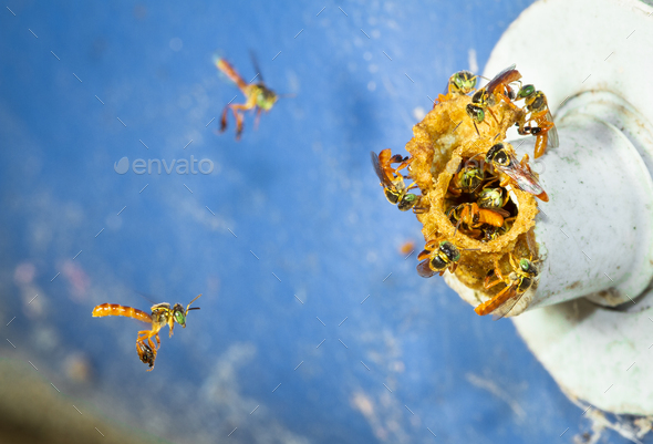 Stingless Bees at the Entrance to The Nest in Belize - Stock Photo - Images