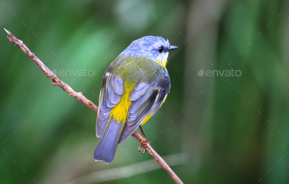 Eastern Yellow Robin Perched on a Twig in Australia - Stock Photo - Images