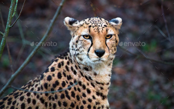 North African Cheetah Looking at the Camera - Stock Photo - Images